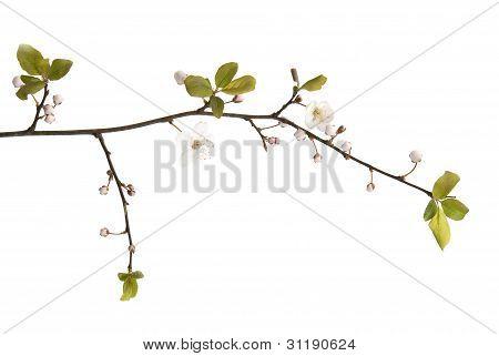 White cherry blossom on a white background.
