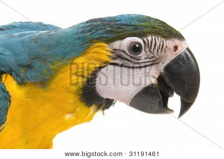 Blue and Gold Macaw talking on a white background