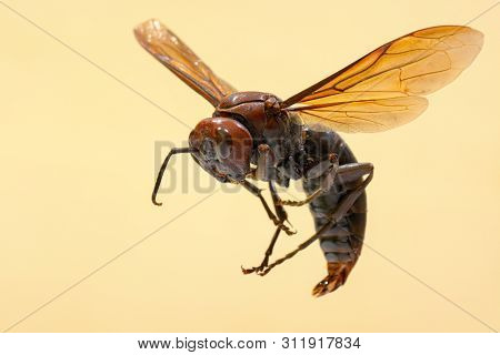 Giant brown paper wasp, known by the scientific name Polistes gigas poster