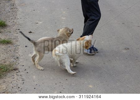 Puppies Bite For Legs, Two Puppies Bite A Boy Outdoors, The Boy Is Afraid Of Little Dogs