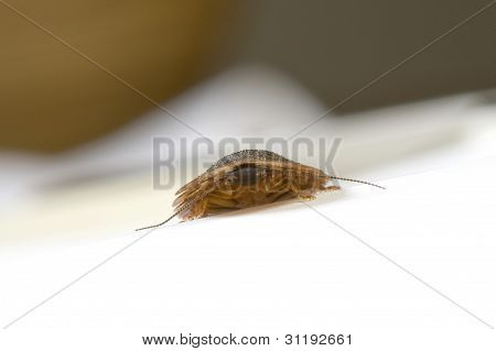 Cockroach creeping on white table top. Shallow depth of field.