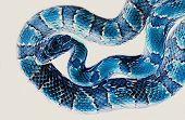 Negative photo of corn snake which makes it look blue. poster