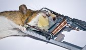 A mouse caught in a mousetrap - the only place where one finds free cheese. poster