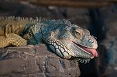 Iguana lying on a rock with its tongue out poster