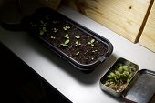 An indoor garden showing seed tray with growing seedlings and fresh seedpods of jasmine tobacco, nicotiana alata, in tin. poster
