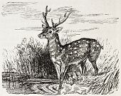 Chital old illustration (Axis axis). Created by Gerusez, published on L'Illustration, Journal Universel, Paris, 1863 poster