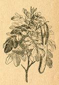 Carob tree twig with flowers and pods - old illustration by unknown artist from Botanika Szkolna na Klasy Nizsze, author Jozef Rostafinski, published by W.L. Anczyc, Krakow and Warsaw, 1911 poster