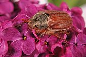 May-bug climbing on the violet lilac. Flowers background poster