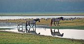 Wild horses in the light of dawn along a lake poster