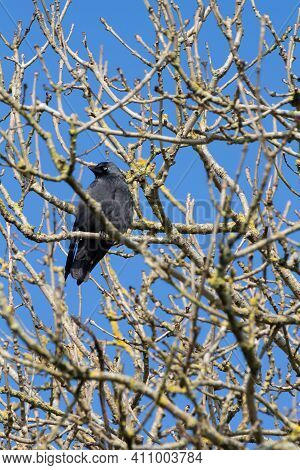 Jackdaw Landed On A Branch In A Forest