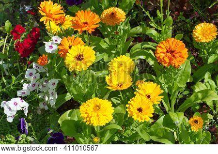 Colorful Calendula (lat. Calendula Officinalis) And Annual Phlox (lat. Phlox) Bloom In A Flower Bed
