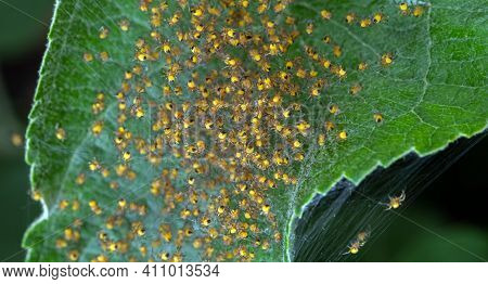 Spider's Nest. Several Hundred Young Spiders Sit In A Nest Of Cobwebs. Selective Focus.