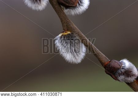 Spring. Willow Branch With White Fluffy Buds