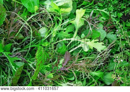 Various Salads-lettuce Salad-salad With Green Mustard In The Garden Of The City Vegetable Garden. Fl