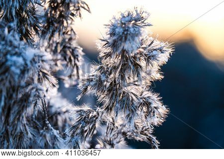 Frozen Hoar Frost Reed Plant In The Winter Morning Sun Light