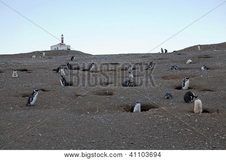 Lighthouse Surrounded By Magellanic Penguins