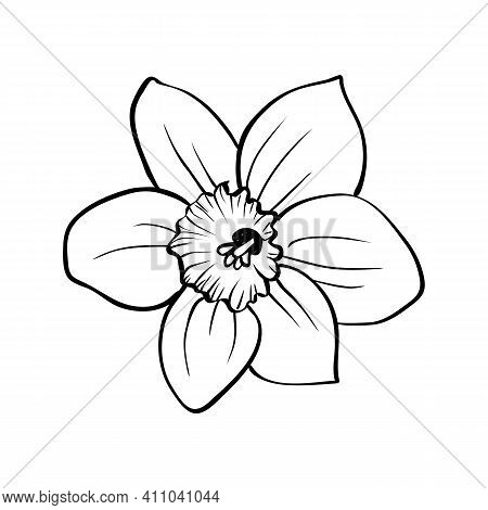 Narcissus Flower Isolated On White Background. Outline Daffodil Blooming Bud Hand Drawing Sketch. Ve
