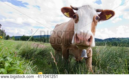 close up on cow in pasture