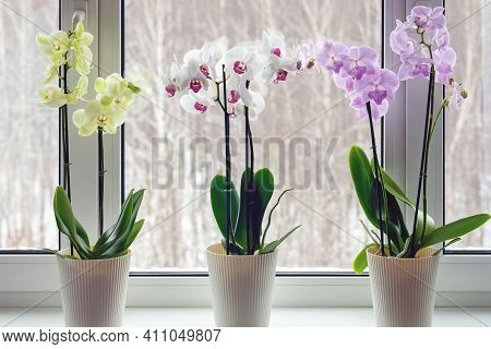 Moth Orchids On Windowsill - Home Decoration With Live Potted Flowering Plants