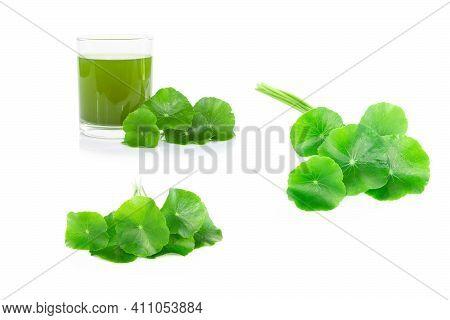 Set Of Gotu Kola Leaf, Asiatic Pennywort, Indian Pennywort On White Background, Herb And Medical Con
