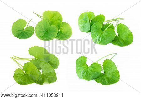 Set Of Leaf Of Gotu Kola, Asiatic Pennywort, Indian Pennywort On White Background, Herb And Medical
