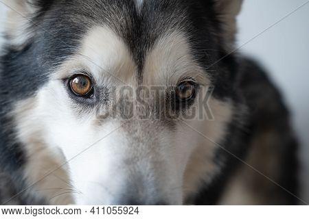 Young Beautiful Clever Alaskan Malamute Dog Eyes. Indoor.
