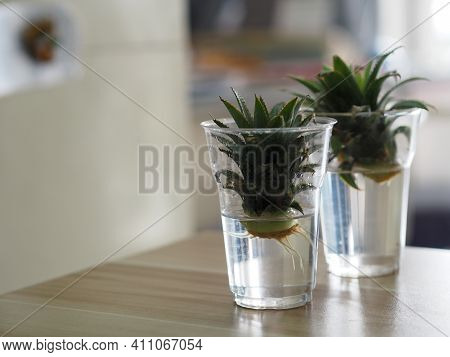Roots Of The Pineapple Sprout, Propagation Planting Pineapples In Water Plastic Glasses, Breeding