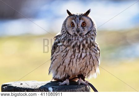 The Long-eared Owl, Asio Otus, Also Known As The Northern Long-eared Owl, Is A Species Of Owl Which