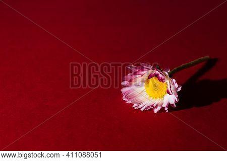 Argyranthemum Frutescens, Marguerite Daisy On Burgundy Background. Greeting Postcard For Valentine D