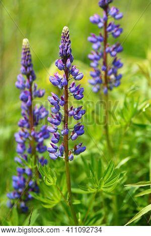Lupinus Purple Wildflower In Summer Beautiful Landscape