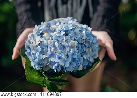 The Scenery Of A Big Hydrangea Flower In Tourist's Hands At Khun Pae, Chiang Mai, Thailand.