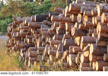 Wood Logs Extracted From The Pine Forest Lie On A Pile