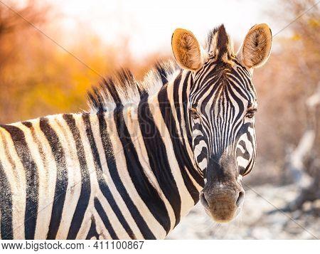 Zebra Portrait In African Savanna. Etosha National Park, Namibia, Africa