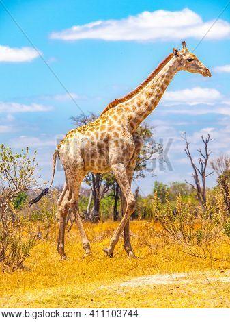 Cute Giraffe Walking In African Savanna. Sunny Day On Safari In Moremi Game Reserve, Botswana, Afric