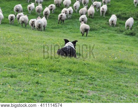 A Working Sheep Dog Moves A Large Flock Of Sheep Through A Field.