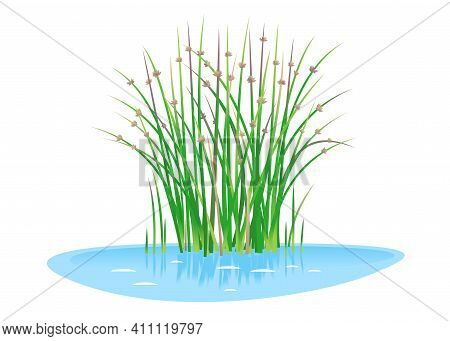 Lakeshore Bulrush Plant Grow Near The Water Isolated Illustration, Water Plants For Decorative Pond