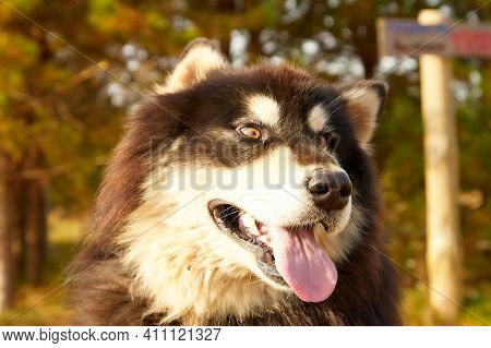 A Purebred Siberian Husky Dog Outdoors In The Nature On A Sunny Day