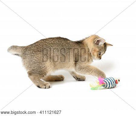 Cute Kitten Scottish Golden Chinchilla Straight Breed, Cat Playing On White Background, Close Up