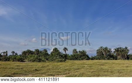 On The Green Grass Of The Savanna There Are Thickets Of Tropical Palms. From Behind The Trees, Again