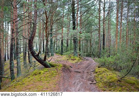 A Footpath Through The Hills Of The Coniferous Forest, Old Pine And Spruce Trees Close-up, Moss On T