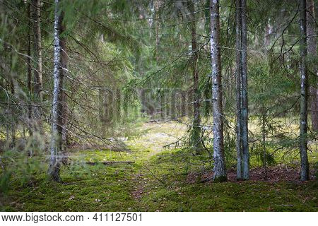 A Footpath Through The Coniferous Forest, Old Pine And Spruce Trees Close-up, Moss On The Ground. Ea