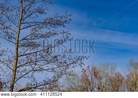 Trunk And Branches Of An Alder Tree On A Background Of Blue Sky. Early Spring In The Village. Web Ba