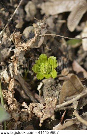 Dwarf Masterwort Flower - Latin Name - Hacquetia Epipactis