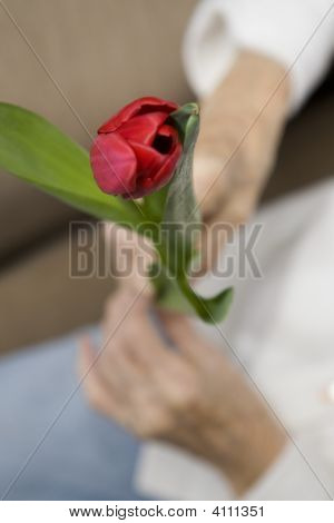 Aged Hands And Tulip