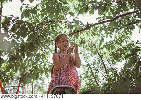 Staycation In Summer Cottage, Family Weekend. Cute Girl Picking Cherry From The Fruit Tree Standing
