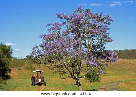Lonesome Jacaranda Tree