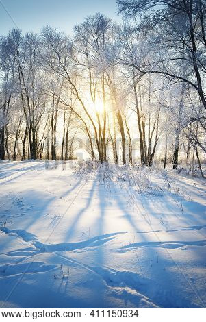 Snow-covered Trees At Sunset. Golden Evening Sunlight Through The Tree Trunks. Human Tracks In A Fre
