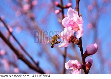 A Bee Flew Into A Flowering Peach Tree To Collect Nectar.