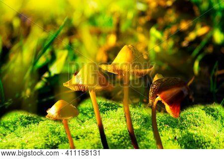 Large Roadside Slug, Land Gastropod Mollusk Of The Order Of Pulmonary Snails Of The Limacidae Family