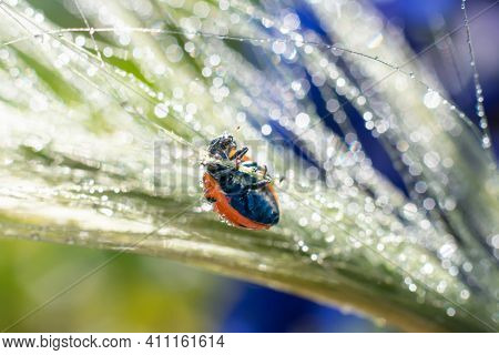 Little Lady Bug Is Holding On Green Glowing Long Spica Grass With Many Water Drops. Blurred Bokeh Ef